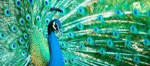 Pfau schlägt Rad in voller Farbenpracht